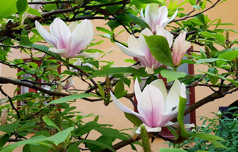 Magnoliaträd på innergård i Stockholm