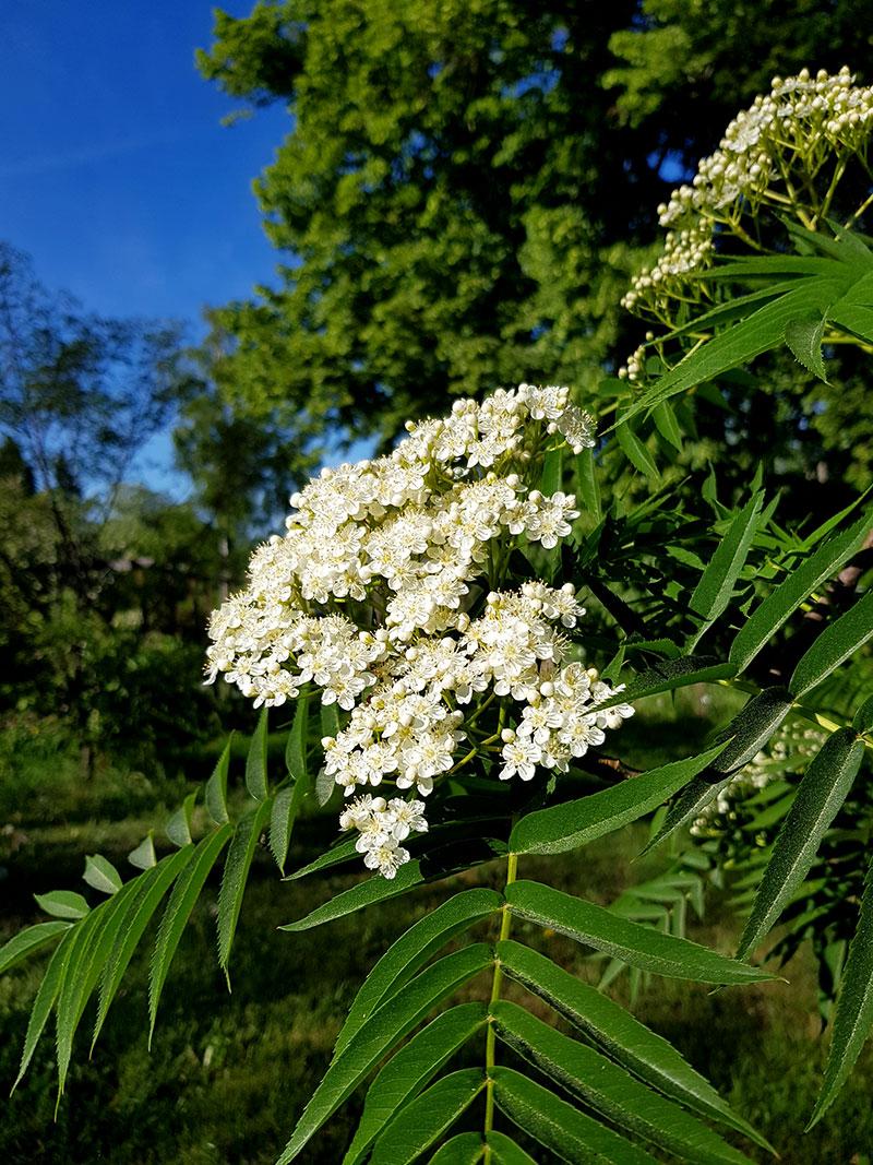 Blommor på rönn Dodong