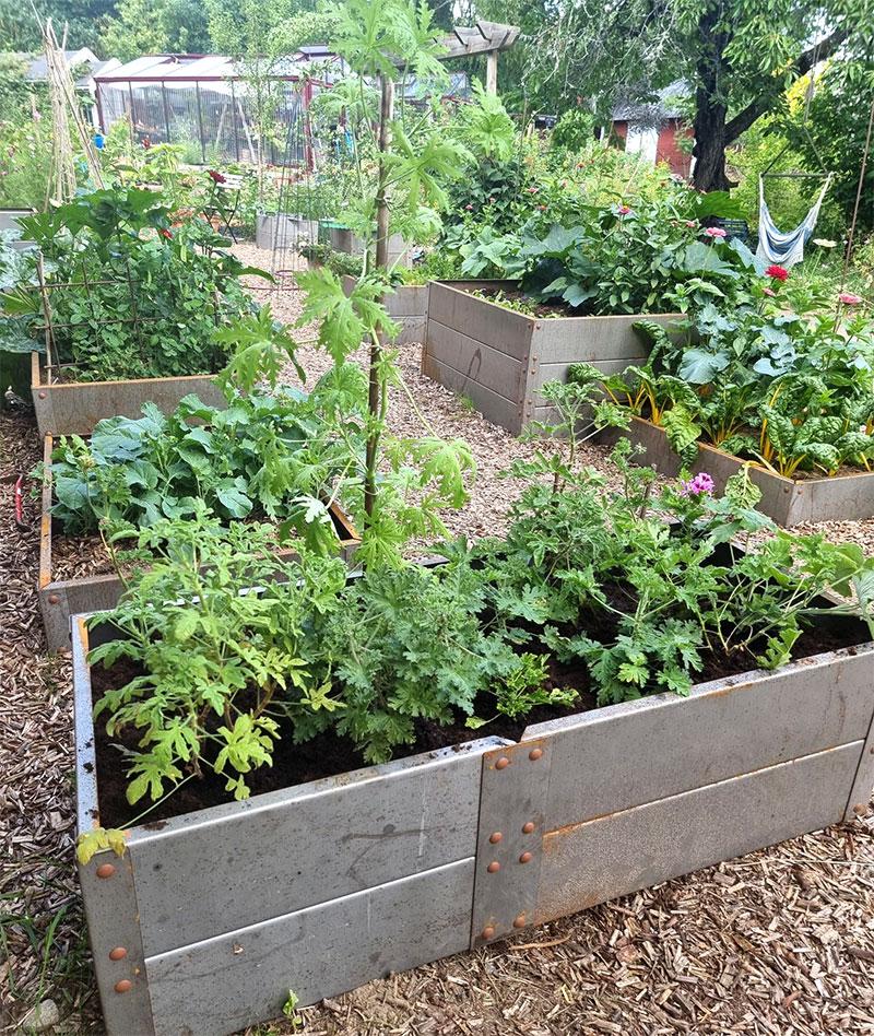 plantering med doftpelargoner
