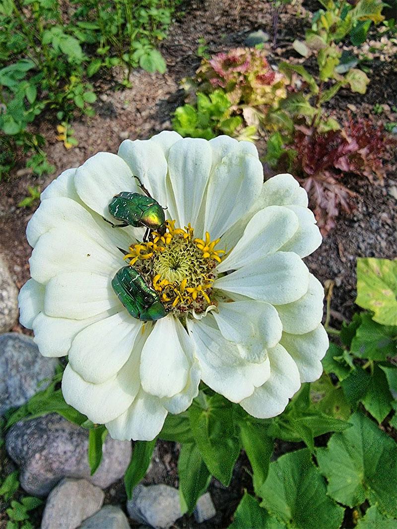 vit zinnia med gröna skalbaggar