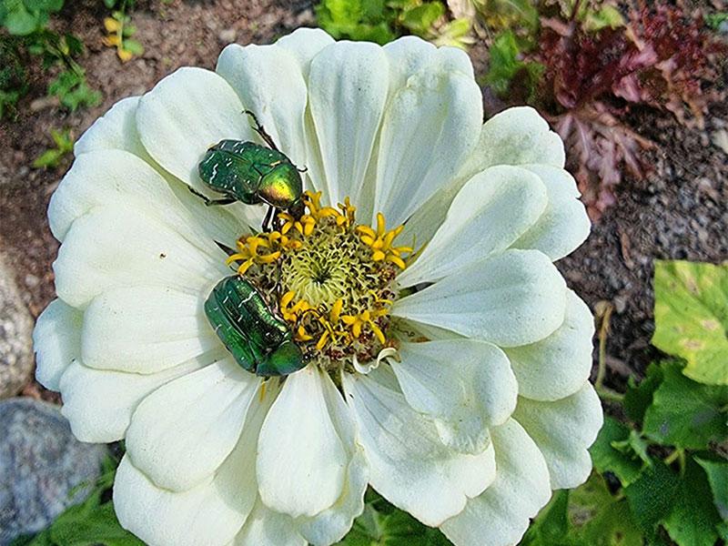 Vitblommande zinnia med gröna skalbaggar
