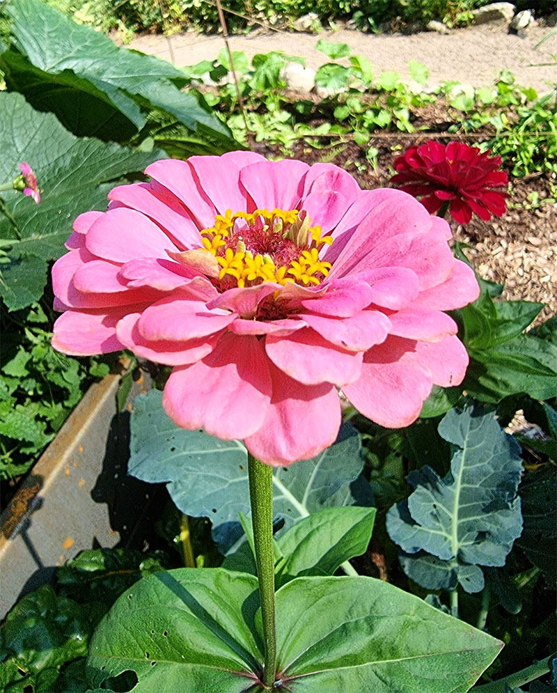 rosa zinnia