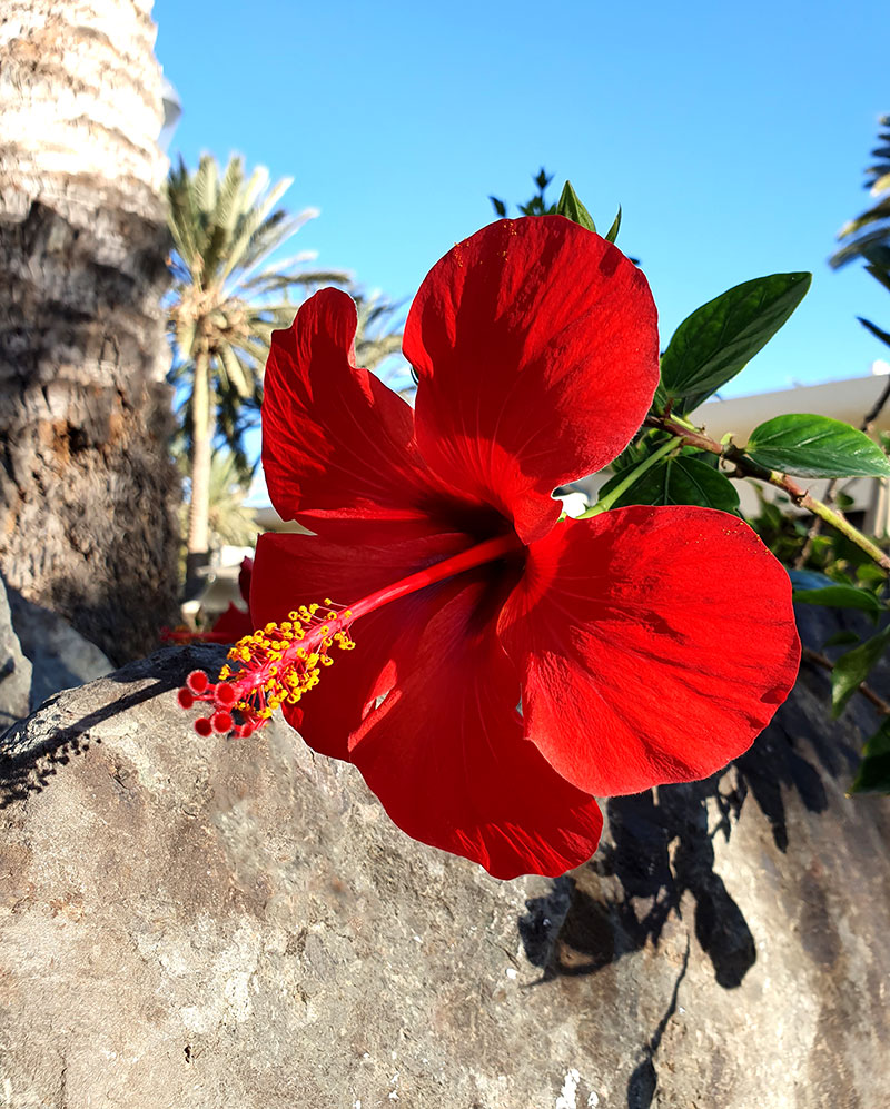Klassisk röd hibiskusblomma