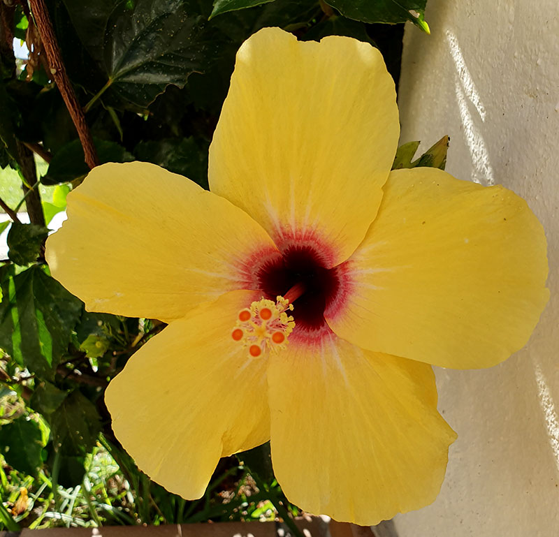 Gulblommande hibiskus