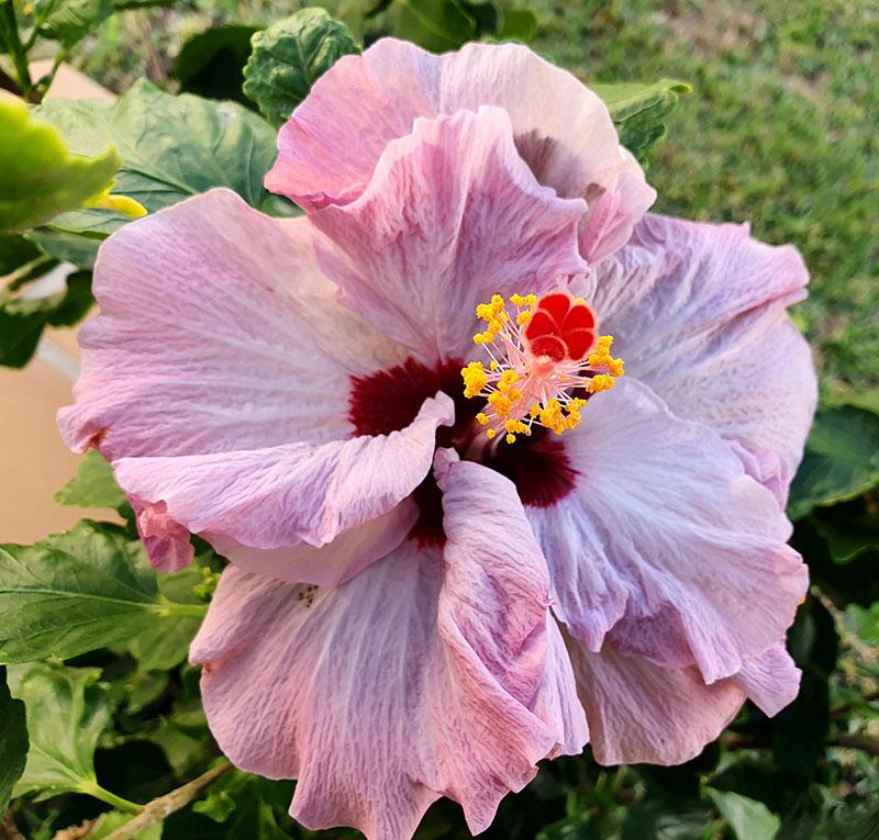 ljusrosa hibiskusblomma med lilja mitt