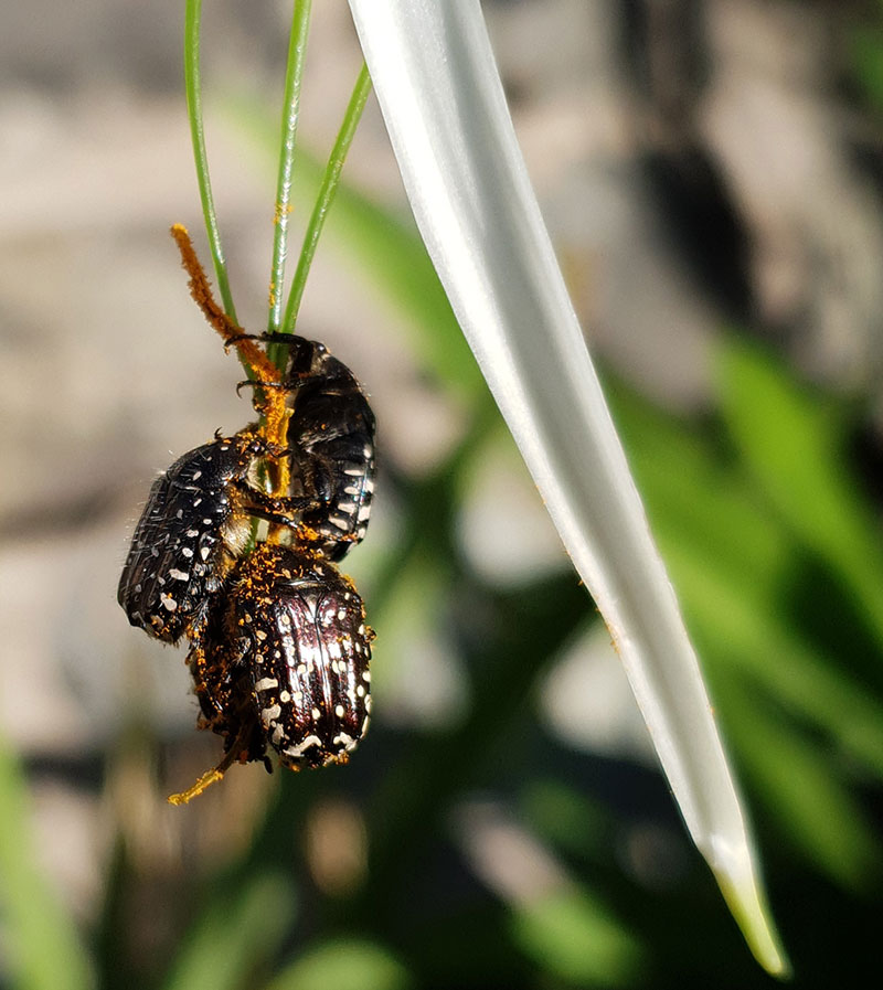 Närbild på målarguldbaggar som hänger i spindellilja