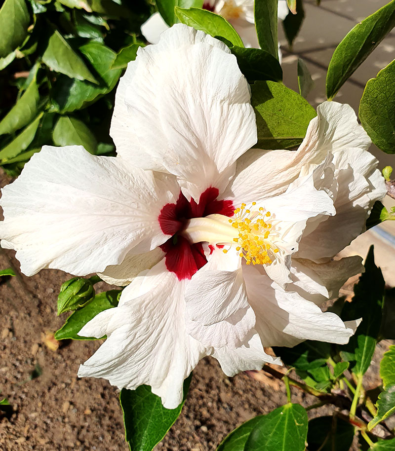 Vitblommande hibiskus