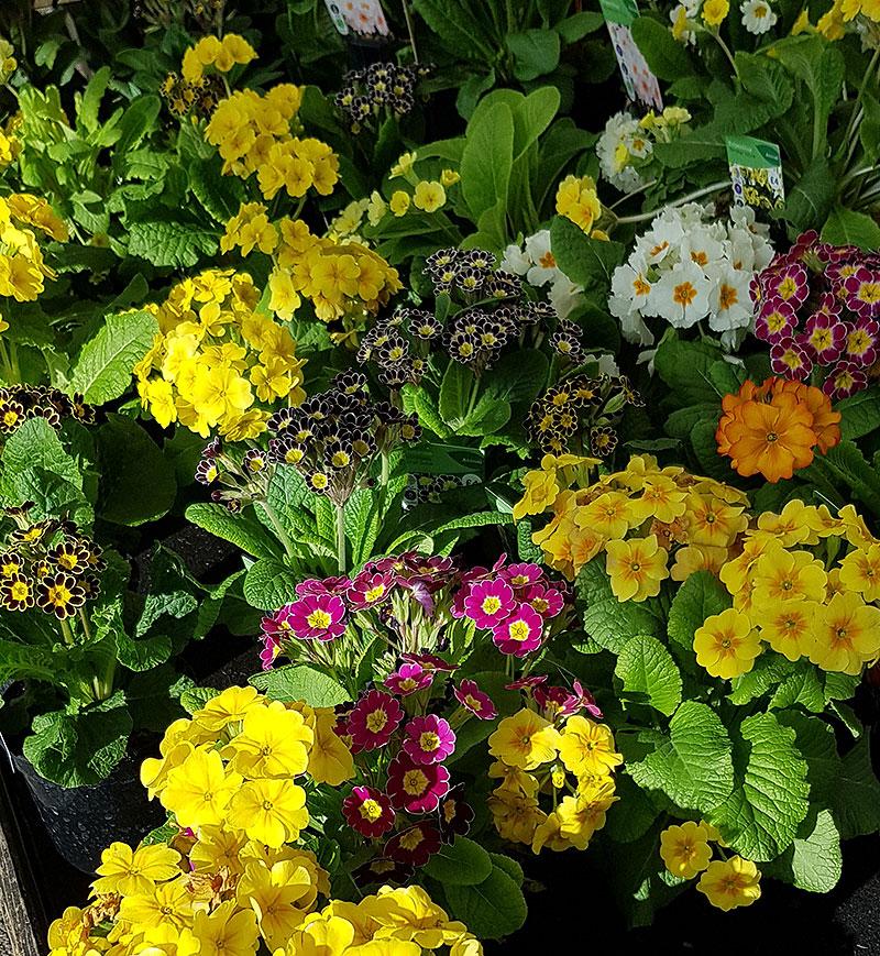 Primula i många olika färger
