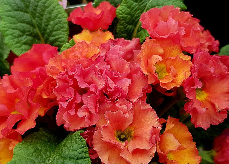 Hallonröd primula med dubbla blommor