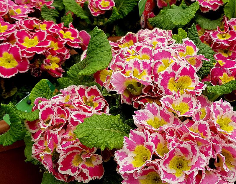 Primula med rosavita blommor
