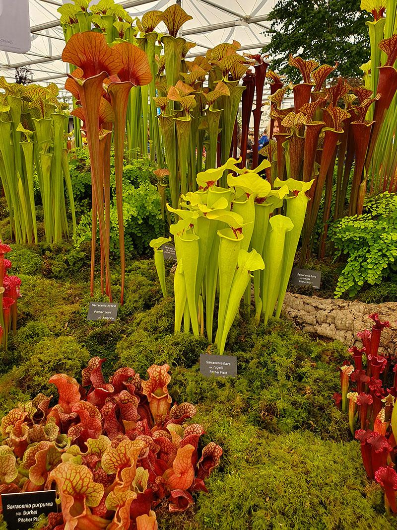 Köttätande växter utställning på chelsea flowershow