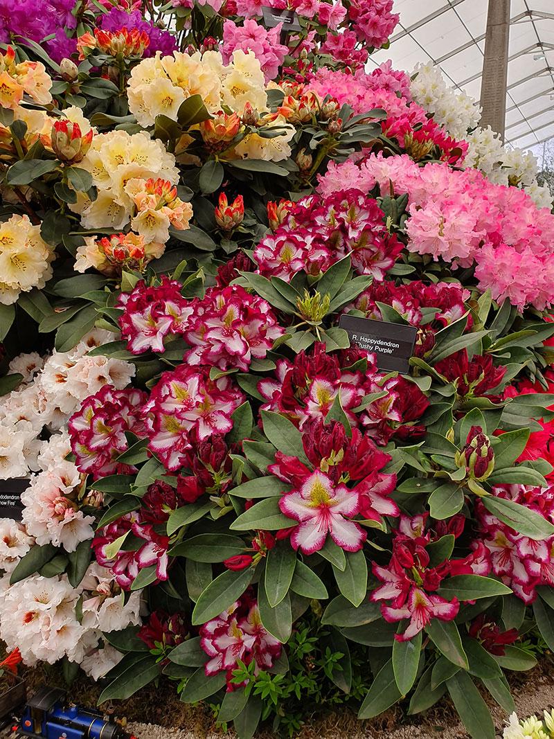 Rhododendronutställning på Chelsea Flowershow