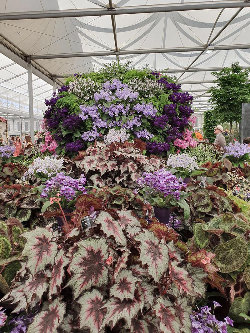 Dibleys nursery med streptocarpus och bladbegonia på Chelsea Flowershow