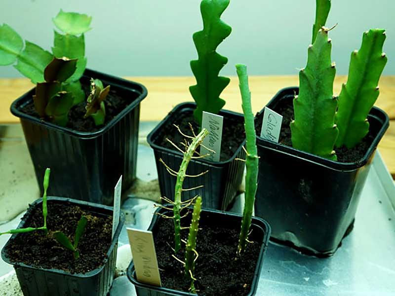 Sticklingar av bladkaktusar