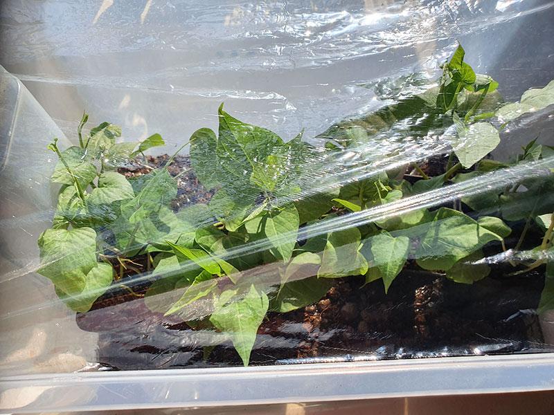växtspa med plast över