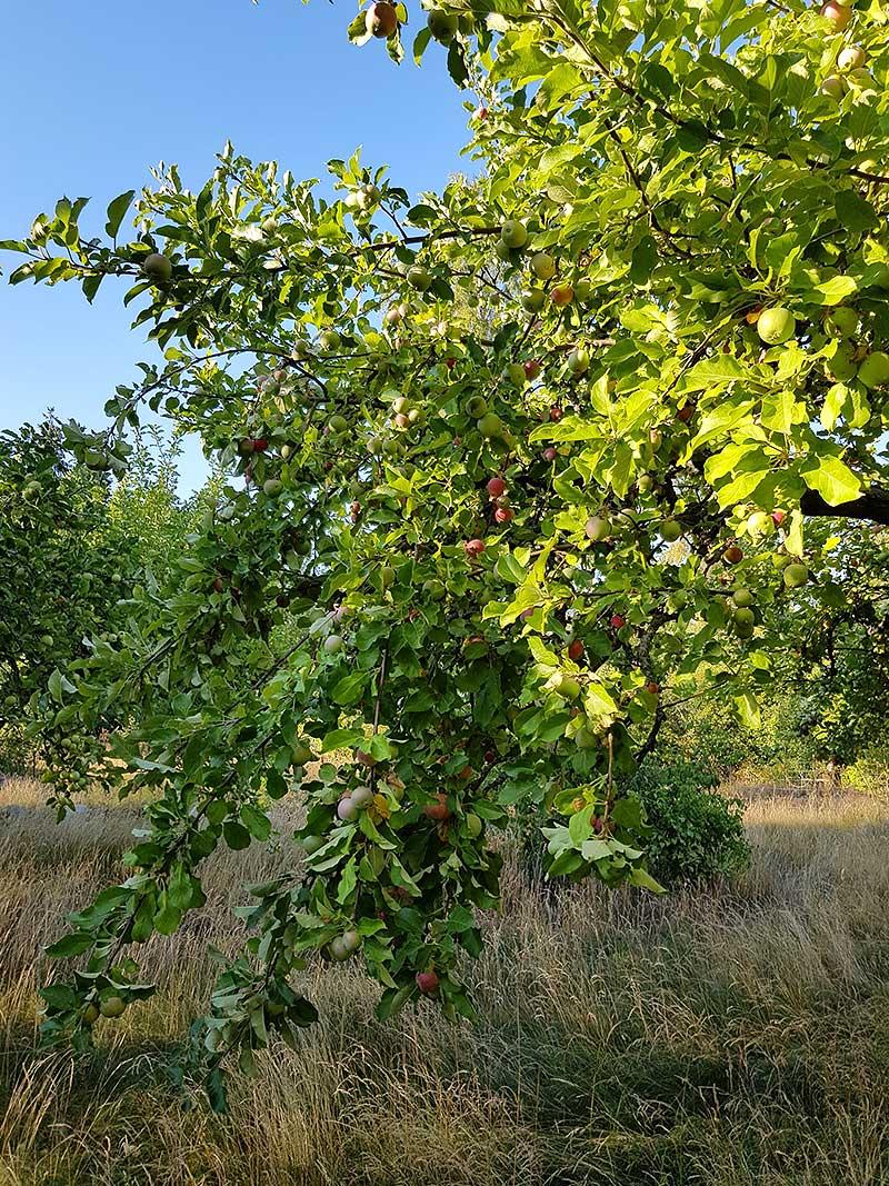 Äppelträd med tunga grenar av frukt