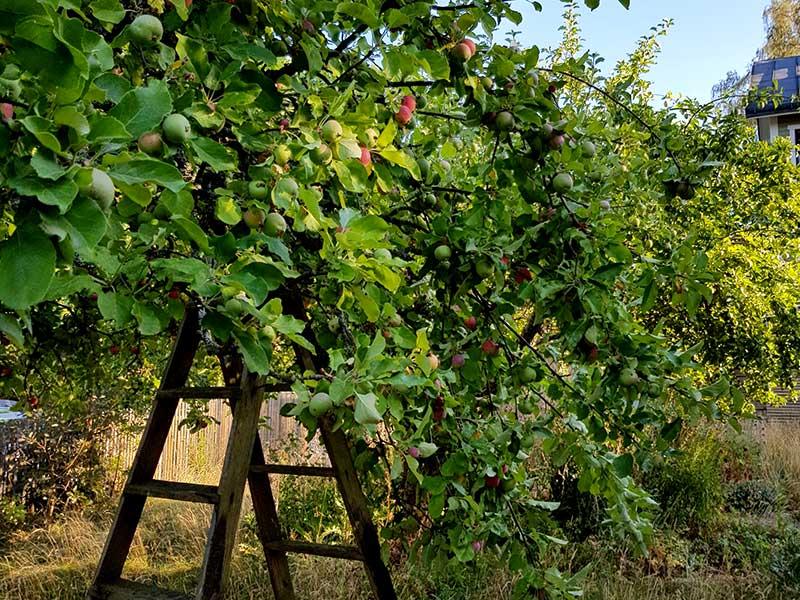 Tunga äppelgrenar stöttade av en stege