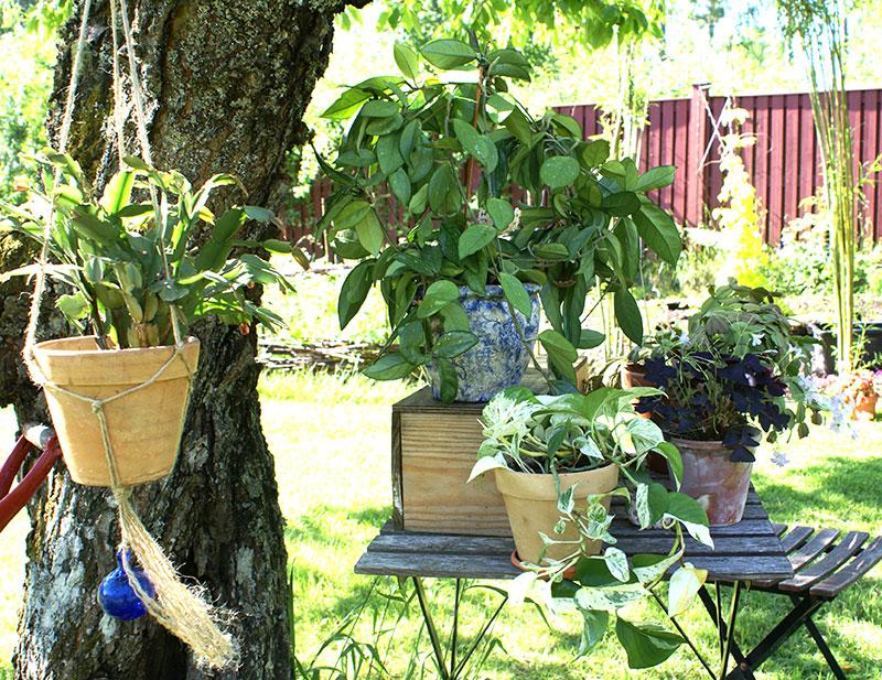Många krukväxter trivs utomhus på sommaren