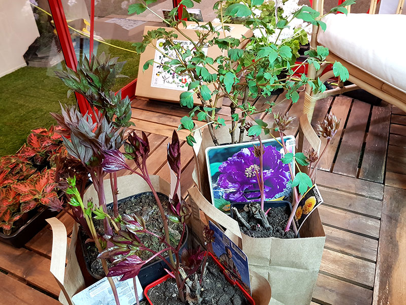Inköpta pionplantor