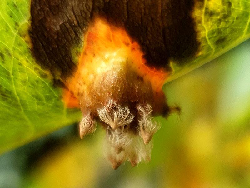 baksidan av ett blad med päronrost