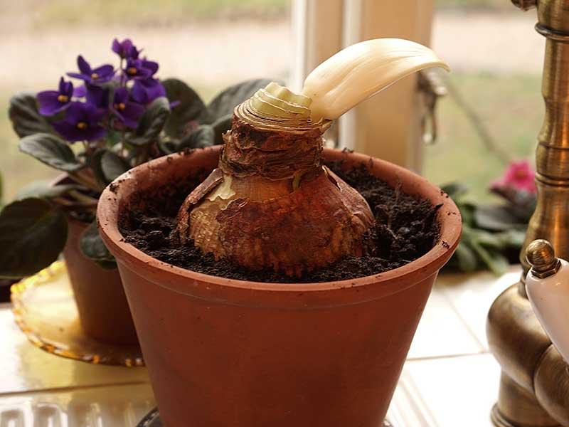 Bortglömd, nyplanterad amaryllislök
