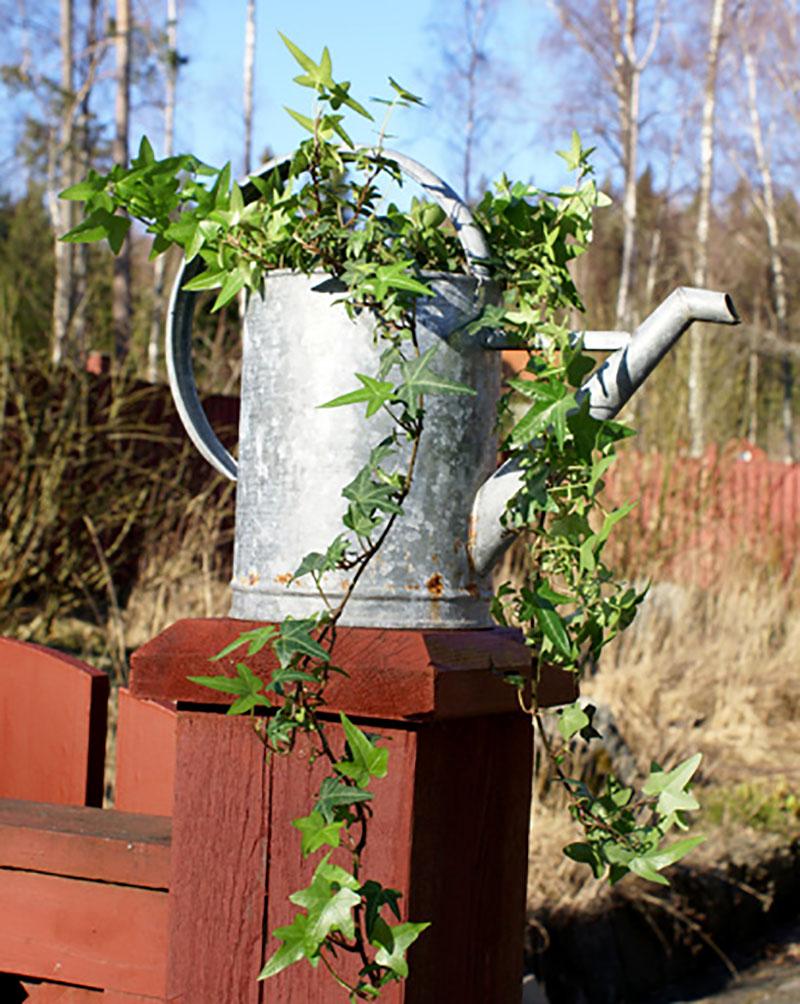 Vattenkanna med planterad murgröna