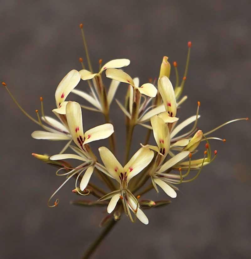 Vildpelargon geofyt Pelargonium Triandrum