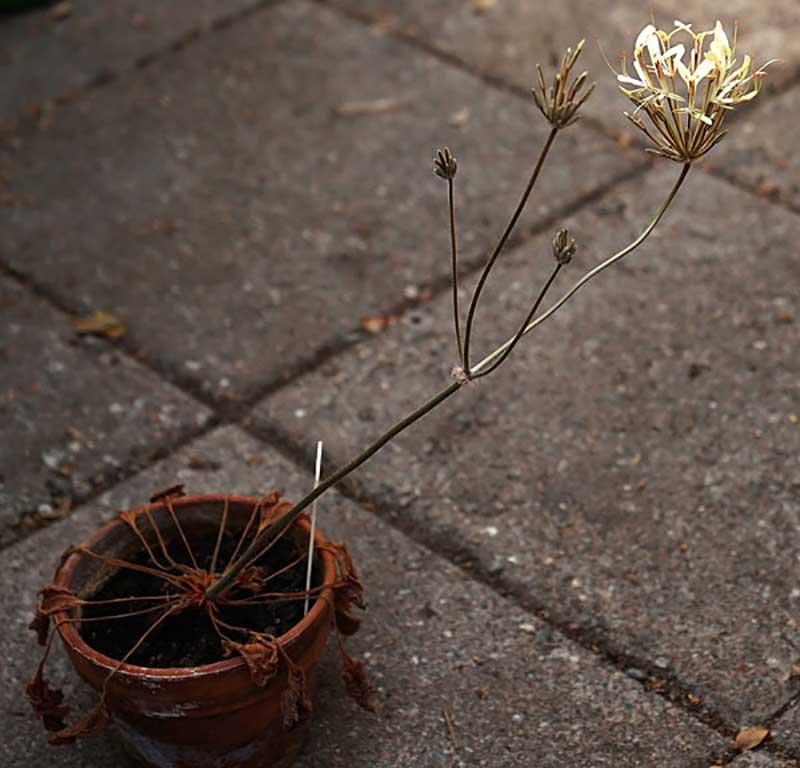 VIldarter av pelargon geofyter blommar med vissnade blad
