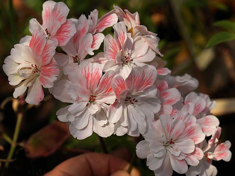 Ny zonarticpelargon korsning P i blom för förstagången