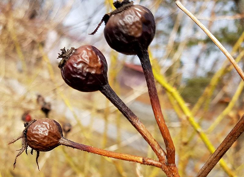 svarta nypon från buskros