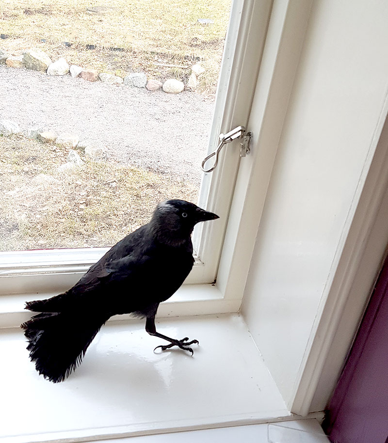 Kaja i fönstret som suttit fast i köksfläkten