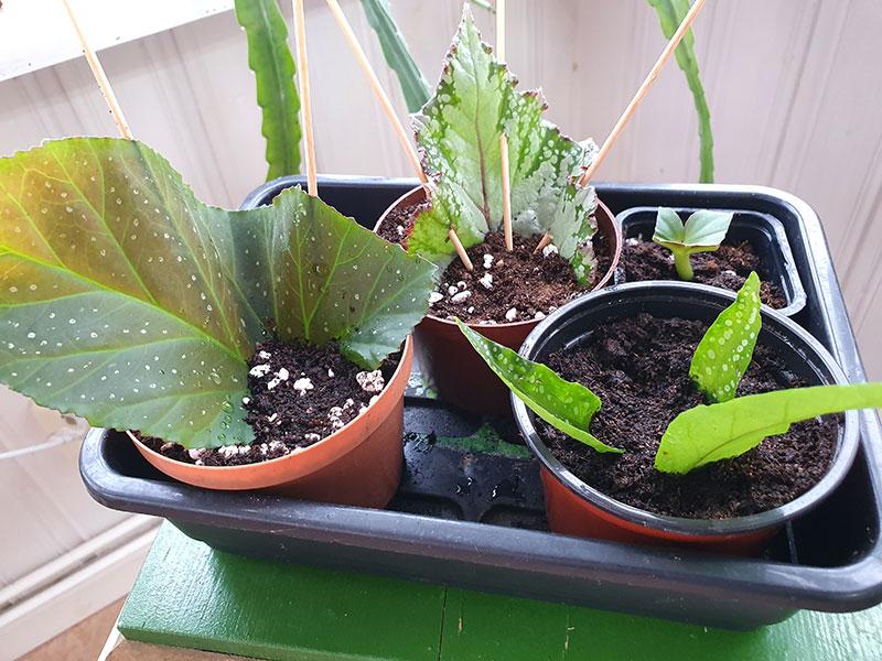 Förökning av begonia med bladsticklingar