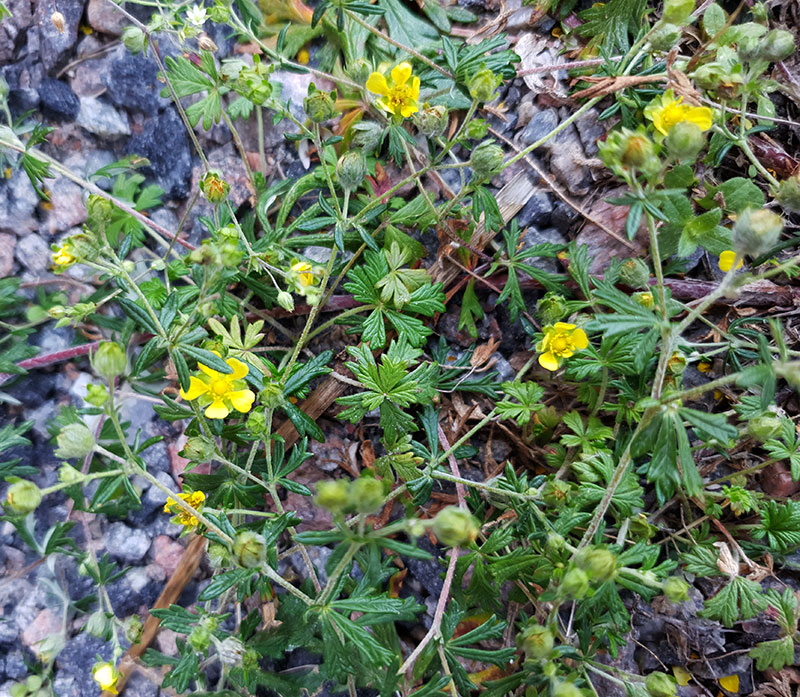 Fingerört med gula blommor och flikiga blad