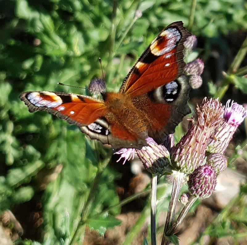 Påfågelfjäril suger nektar ur en vild tistel