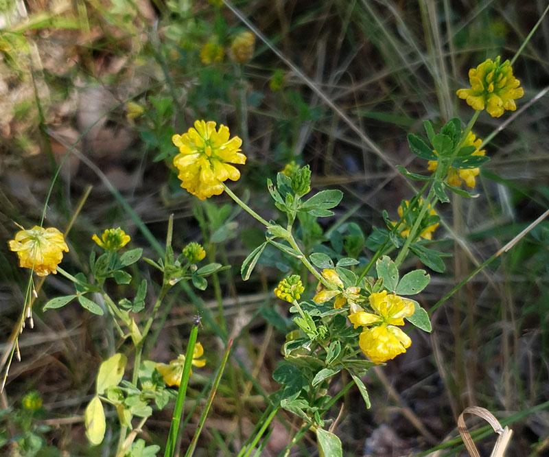 Gullklöver, Trifolium aureum
