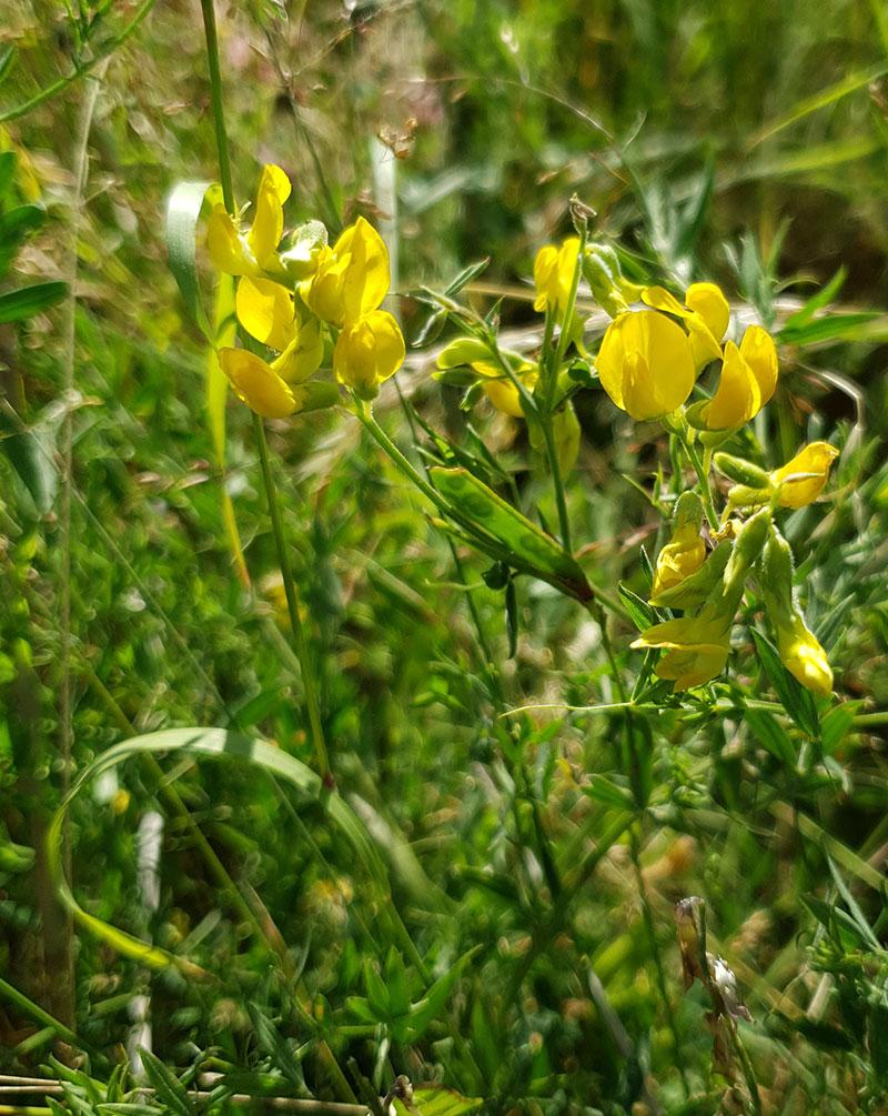Gulvial, Lathyrus pratensis