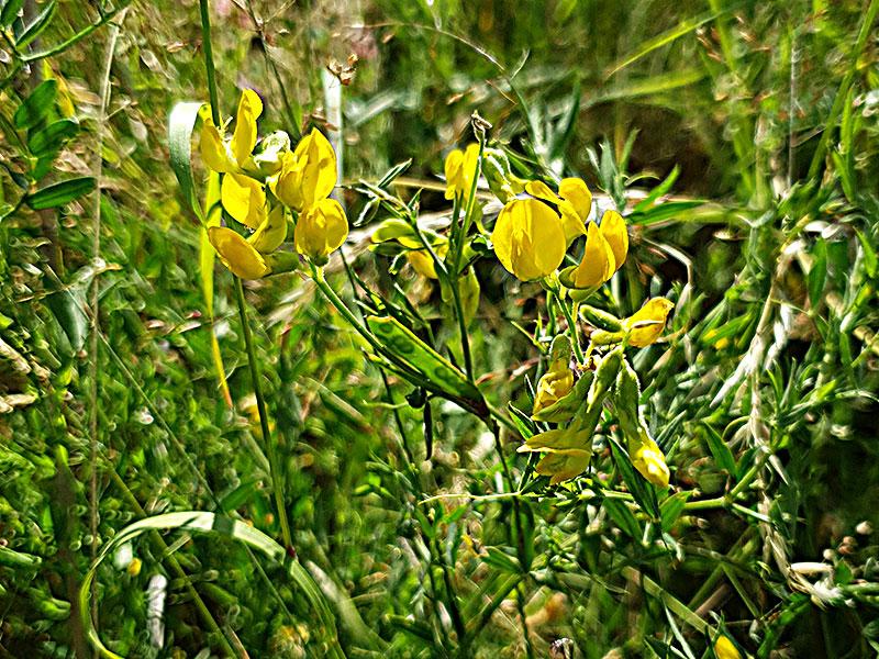 Guivial, en vild växt med gula blommor