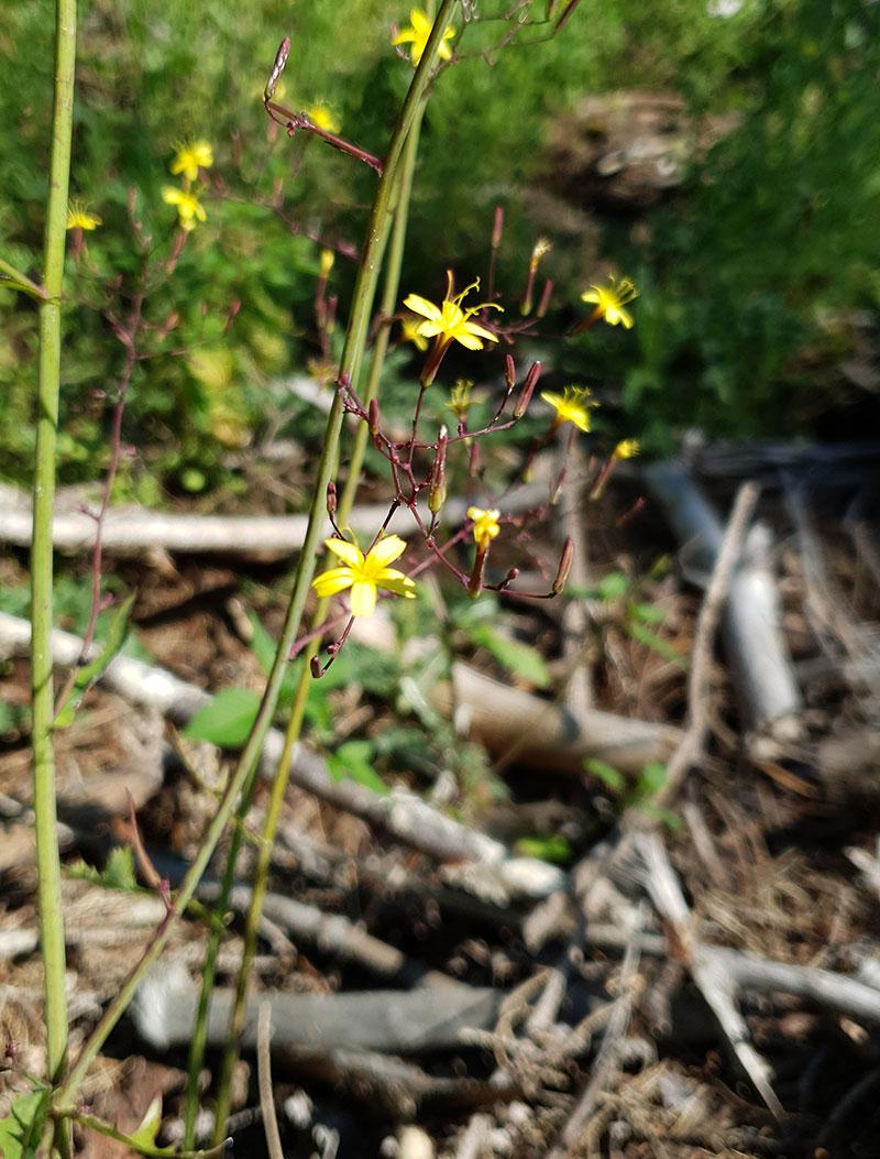 Okänd vild växt med gula blommor