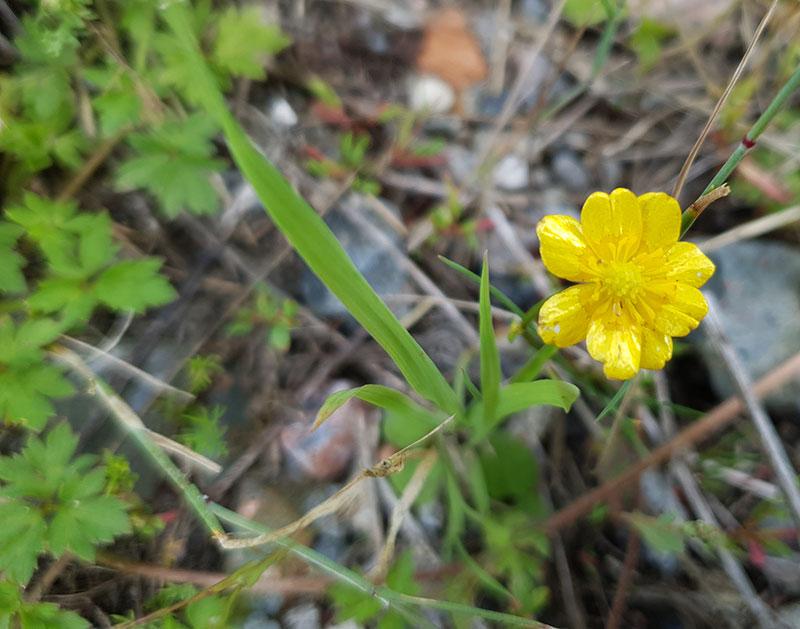 Revsmörblomma, Ranunculus repens
