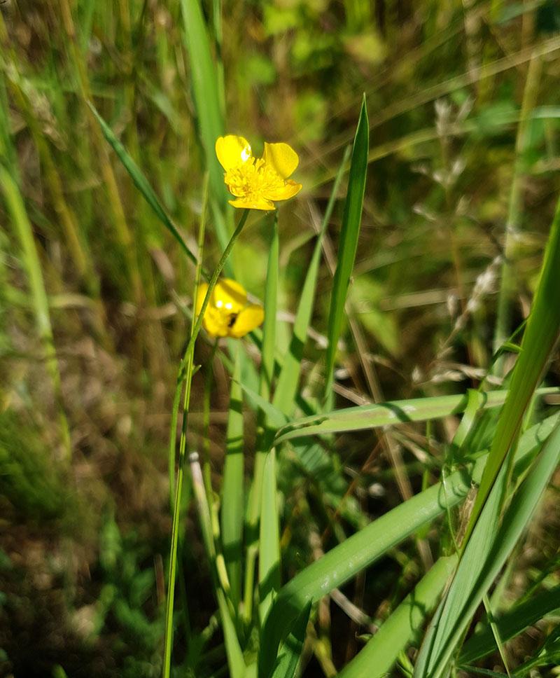 Smörblomma, Ranunculus acris