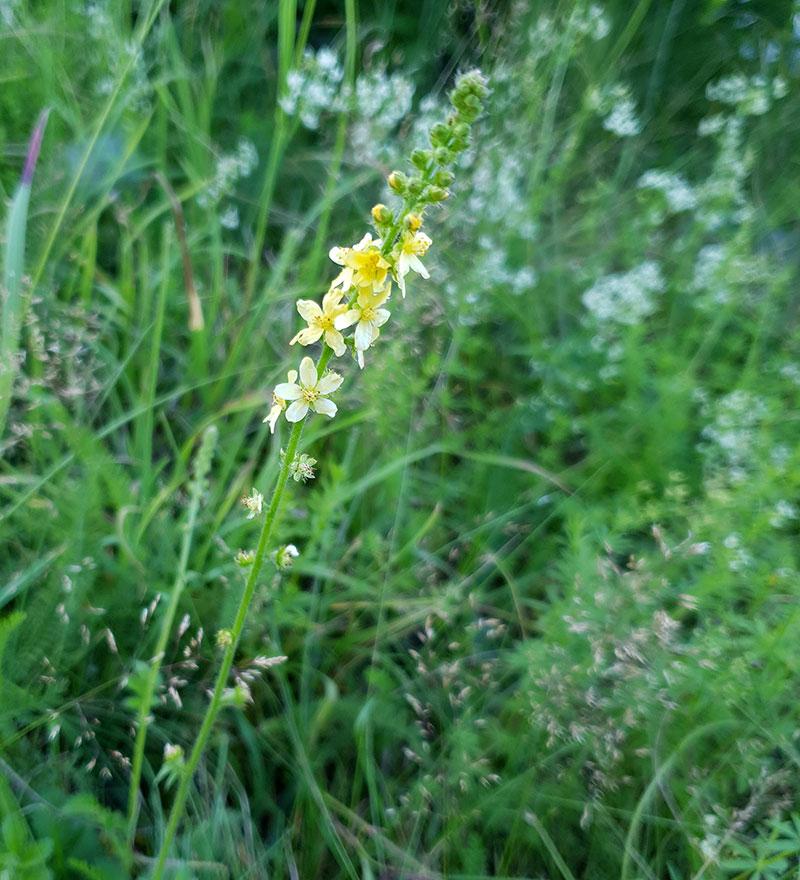 Okänd vild blomma med gulblommigt ax