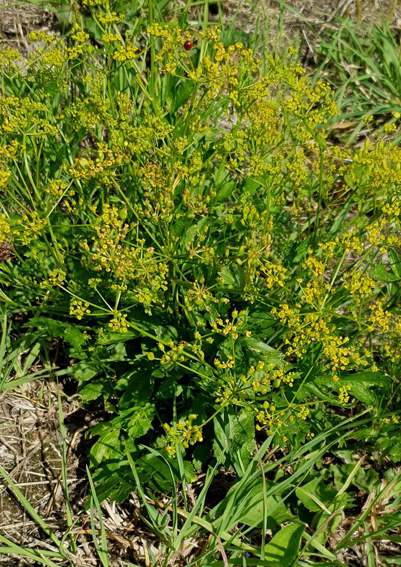 Vildpalsternacka, Pastinaca var. sylvestris