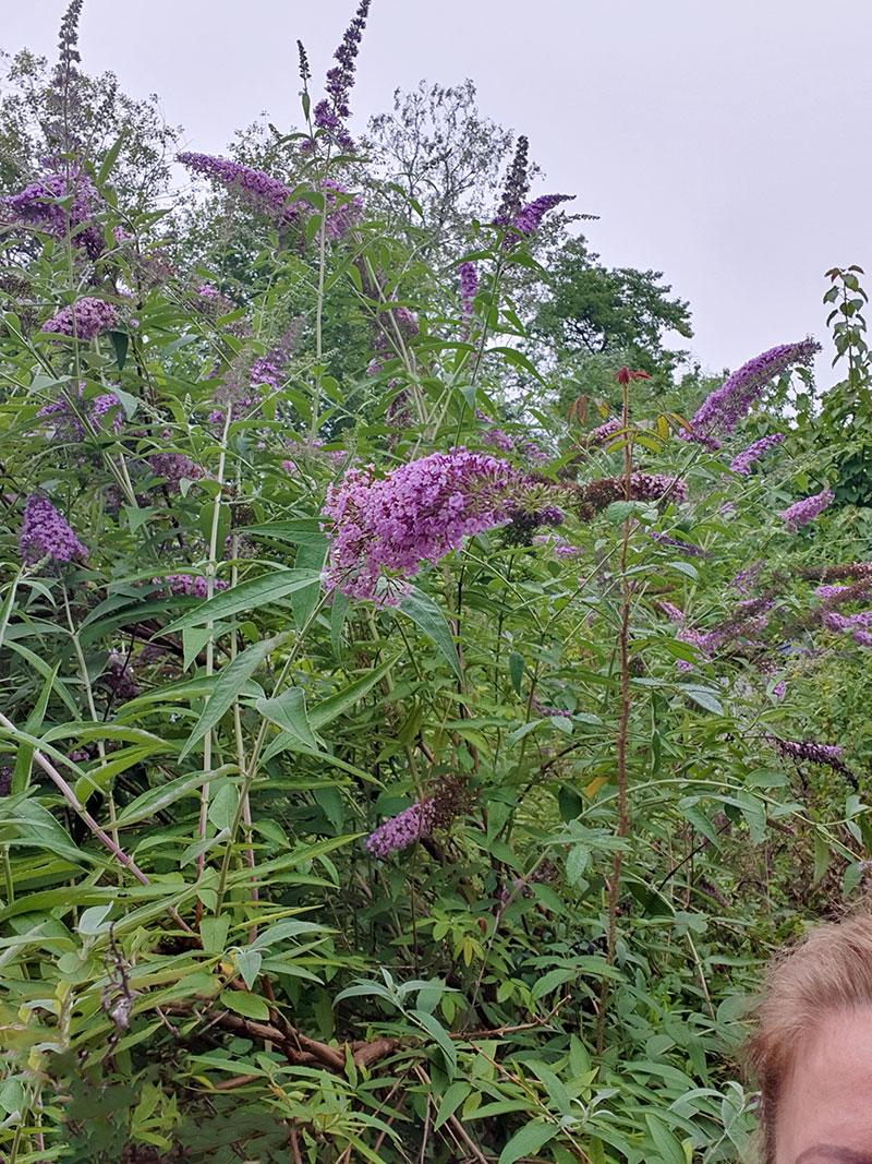 Buddleja Niche's choice med lila blommor