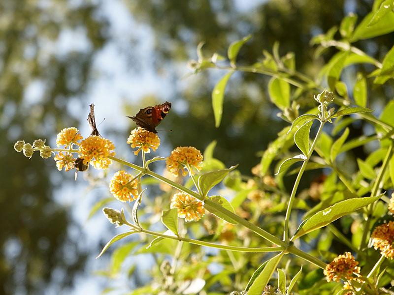 Ovanlig buddleja Buddleja x weyeriana med gula blommor