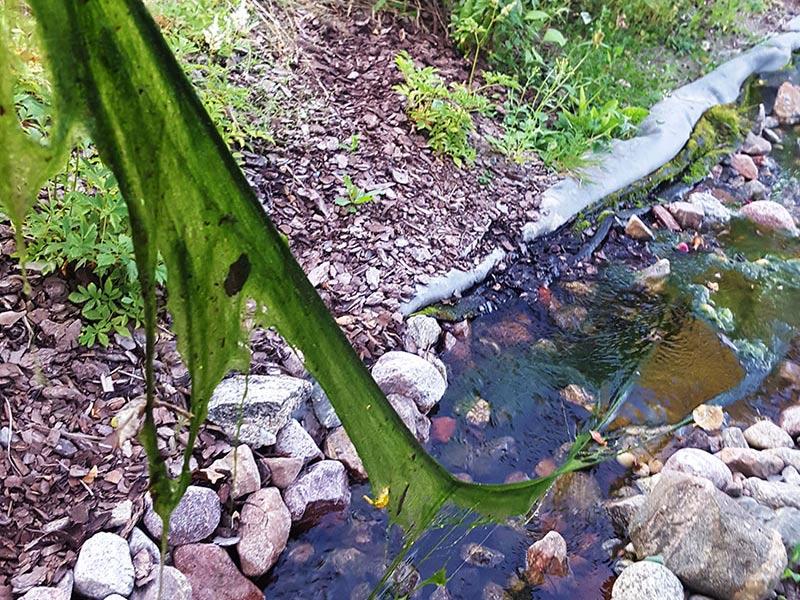 Trådalger med långa, gröna trådar i dammen