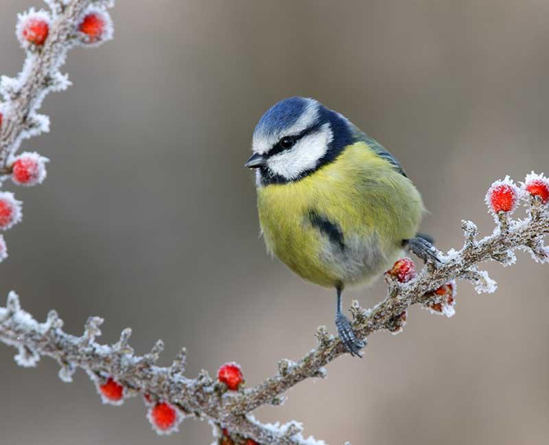 Blåmes på vintern med hagtornsbär