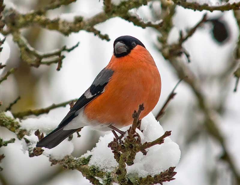 Domherre i fruktträd på vintern