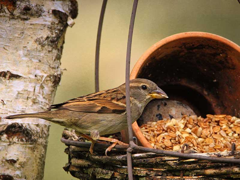 Gråsparvar vid fågelbord på vintern