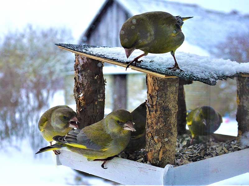 Grönfinkar vid fågelbord på vintern i trädgård