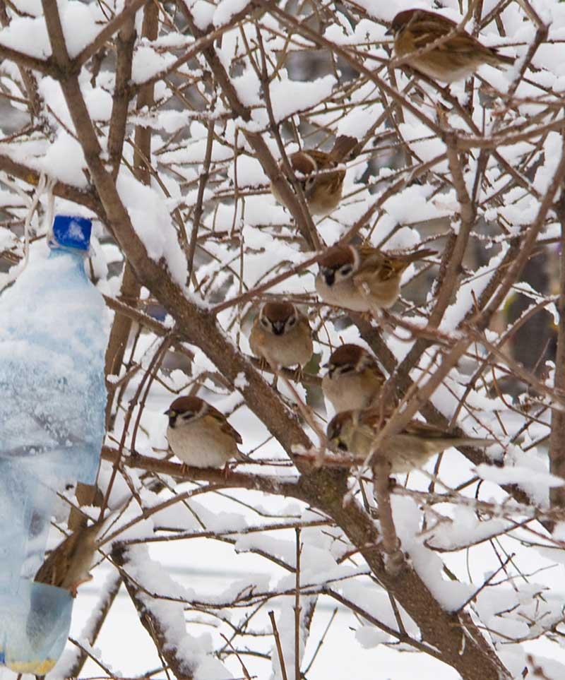 Pilfinkar i trädgård på vintern
